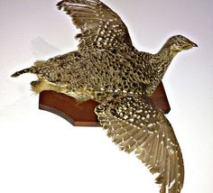 1950s Grouse Taxidermy Wall Mount