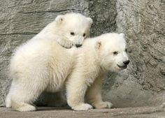 polar bear cubs...