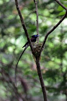 Japanese paradise flycatcher in the Forest by Mubi.A