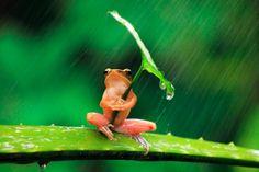 A frog with a leaf umbrella lol