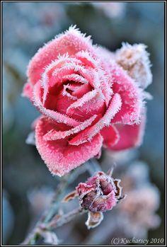 Frozen flower by ~Dark-Raptor on deviantART