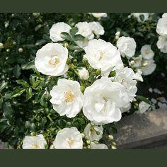 Innocencia Balconia Rose - one of my favorite hanging basket roses!