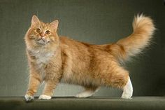 Must. Have.    Siberian cats...mostly hypoallergenic and sooooo fluffy and BIG!!! <3
