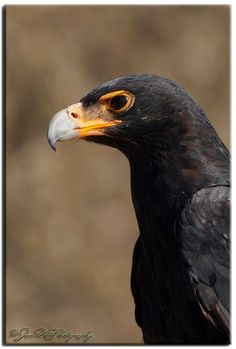 Verreaux's Eagle  (Aquila verreauxii) is a large bird of prey.  It is alternatively known as the Black eagle, especially in Southern Africa, leading to potential confusion with the Black eagle (Ictinaetus malayensis), which is sometimes known as the Indian Black eagle.