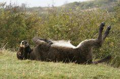 Special Forces Donkeys #5 Playing Dead. Courtesy: Julian Sawyer. Swanage   Dorset, England (UK)