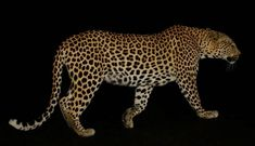 Leopard seen before sunrise in the Kruger Park Kruger National Park, National Parks, Cool Pictures, Cool Photos, Cat Activity, Male Lion, Most Beautiful Animals, Before Sunrise, Rare Animals