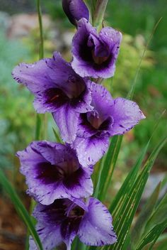 Gladiolus (from Latin, the diminutive of gladius, a sword) is a genus of perennial bulbous flowering plants in the iris family (Iridaceae). Description from pinterest.com. I searched for this on bing.com/images