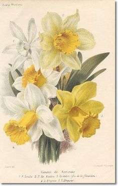 illustrated-book-plate-illustration-from-revue-horticole-1800s-botanical-print-20-daffodil.jpg (319×500)