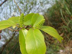 水柳 Salix warburgii