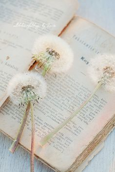 Ideas flowers vintage book for 2019 Dandelion Clock, Dandelion Wish, Beautiful Images, Beautiful Flowers, Book Flowers, Foto Blog, Deco Nature, Make A Wish, Vintage Flowers