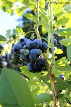 4 Ways to Preserve Blueberries | The only thing more glorious than eating plump, juicy blueberries straight from a bush is enjoying a sweet ...