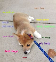 doge meme: corgi puppy