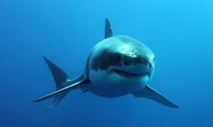 Diving off Guadalupe Island was a biologist's paradise for shark specialist Lauren Smith. The best bit? Seeing the drama of a great white shark defecating . Shark Images, Shark Pictures, The Great White, Great White Shark, Deep Blue Shark, Guadalupe Island, Shark Conservation, Dead Dog, Undersea World