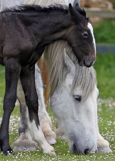 A 1-week-old shire horse foal rests her head on her mother Orla at Cornwalls Crealy Adventure Park on May 24 near Wadebridge, England. Once a common sight in the United Kingdom, shire horses are now classed as at risk by the Rare Breed Survival Trust.