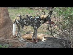 Part 1 AM Safari Drive at Djuma Game Reserve on Feb 11, 2016 ( Wild Dog's )