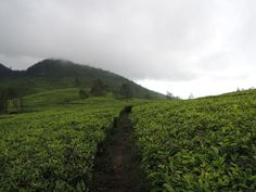 There are 11 major tea-producing provinces in Indonesia that contribute to the country's seventh place in the world's biggest tea exporters. At the top spot of these provinces is West Java with nearly ten thousand hectares of lands in total for tea plantations. Java, Vineyard, Country, World, Places, Top, Outdoor, The World, Spinning Top