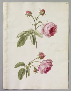 A page of watercolours of two sprigs of Rose of Province by Alexander Marshal (c. 1620-82)