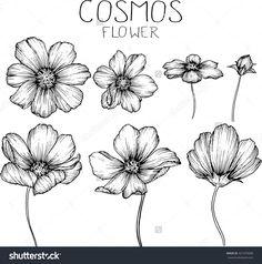 cosmos flowers drawings vector