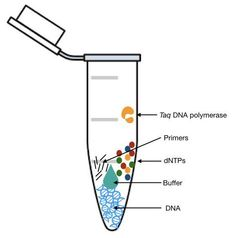 PCR RECIPE: dNTPS, PCR buffer, Primer, DNA and Taq pol