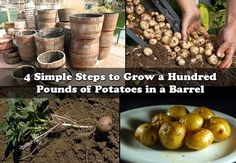 Container Gardening For Beginners 4 Simple Steps to Grow a Hundred Pounds of Potatoes in a Barrel 4 Simple Steps to Grow a Hundred Pounds of Potatoes in a Barrel Container gardening is not only for savvy urban gardeners and folks with limited space to Organic Compost, Grow Organic, Gardening For Beginners, Gardening Tips, Vegetable Gardening, Potato Barrel, Garden Soil, Garden Fun, Edible Garden