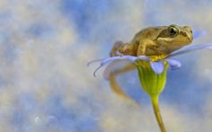 Frog on Flower hd wallpaper by parislane Frog Wallpaper, Flower Wallpaper, Pets, Flowers, Animals, Anna, Animales, Animaux, Animal