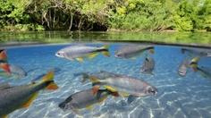 Fish, Water, Balneario Municipal, Bonito, Brazil, Animals