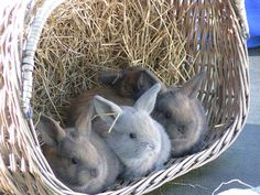 Cute newborn baby bunnies in a basket...Waiting for mom to take them out.