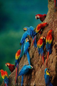 ~~Scarlet macaws, Ara chloroptera, and Blue-and-yellow macaw, Ara ararauna, at Clay Lick, Tambopata National Reserve, Peru by Frans Lanting~~