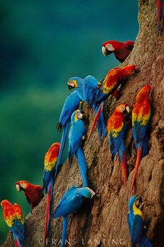 Amazing photo ~ The beautiful Scarlet macaws, Ara chloroptera, and blue-and-yellow macaw,    Ara ararauna, at clay lick, Tambopata National Reserve, Peru    by Frans Lanting
