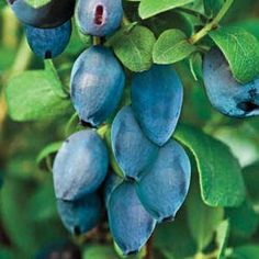 This 6- to 8-ft. shrub will yield an abundance of rich blue berries that ripen more than two weeks before strawberries! Exceptionally hardy and not bothered by disease or insects, Honeyberry is a joy to grow! Thrives in partial shade. Plant two varieties for pollination. Protect from late frost to ensure fruit production. Zones 3-9.