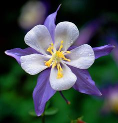 columbine+flower+tattoo | Colorado Columbine Image