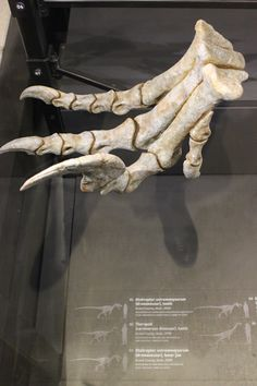 Utah Raptor at Utah Museum of Natural History ... wow, imagine gettimg slashed by these claws !