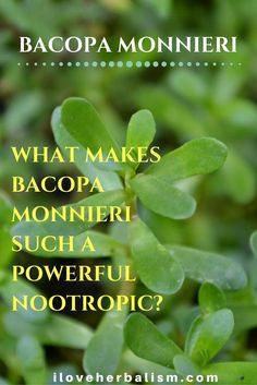 Be careful not to confuse brahmi (Bacopa monnieri) with gotu kola and other natural medicines that are also sometimes called brahmi.  They are not the same plant, nor have the same amazing benefits.
