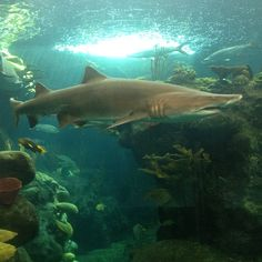@Erin Plachy | At The Florida Aquarium. Sand tiger shark!