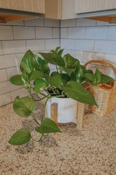 #plants #amazon #plant #houseplants #easyplants #indoorplants Diy Planters, Planter Boxes, Easy House Plants, Golden Pothos, Pothos Plant, Sun And Water, Diy Plant Stand, Replant, Snake Plant