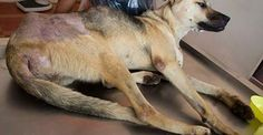 Want to help fundraise for the rescue of dogs and cats in Thailand? Soi Dog has set up a profile on Razoo whereby you can set up your own fund raising page and through it encourage your friends, family, colleagues etc. to support your fund raising effort. To get started on your own fundraiser please follow this link: http://www.soidog.org/en/donate-today/fund-raise-for-soi-dog/