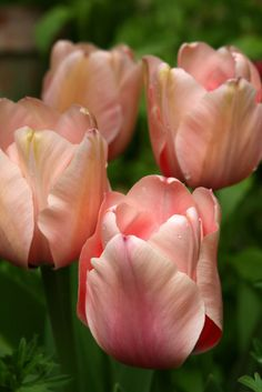Pink Tulips +919582148141 We have beautiful flowers & Gifts which are sending to your friends, relatives and family members. you can also send soft toys, delicious cakes, chocolates Send Flowers to Delhi & All Over World through Online Florist Delhi. www.buyflower.in www.inidaflower.co.in  www.buyflower.co.in