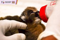 De manera inédita, nació un Caracal en las instalaciones del Zoológico de Morelia, convirtiéndose así en el primer caso de nacimiento en cautiverio de este felino en los 45 años ...