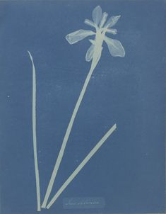 Iris Sibirica by Anna Atkins and Anne Dixon Atkins, Fern Images, Anna, Experimental Photography, Willow Pattern, Getty Museum, Cyanotype, Museum Collection, Friends In Love