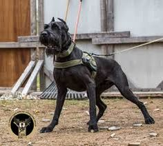 Image result for giant schnauzer police k9