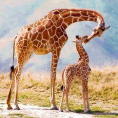 Жираф и малыш