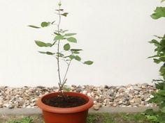 Как вырастить розу в картошке | Хитрости жизни Bonsai, Plants, Potatoes, Fruit Trees, How To Make, Plant, Planets, String Garden