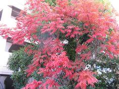 9月22日の誕生日の木は、紅葉がとても綺麗な『ハゼノキ(櫨の木)』です。 ウルシ科ウルシ属の落葉小高木。真っ赤に燃える紅葉が美しく「ハゼモミジ」とも呼ばれます。 原産地は、中国、タイ、インドネシアなど東アジアから東南アジアにかけて。日本へは江戸時代に和ロウソクの蝋(ロウ)を採取する目的で琉球王国から持ち込まれました。 樹高は10m前後。直径は30cmに達するものもあるが、多くは5~10cm。陽樹のため日当たりの良い南面で、肥沃地に生育します。雌雄異株で、 5月~6月に円錐形の房状に黄緑色の小さな花をたくさんつけます。9月~10月に直径10~15mmくらいの偏球形の実を付けます。この実から木蝋(モクロウ)が採れます。