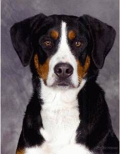 Greater Swiss Mountain Dog Information, Pictures of Greater Swiss ...