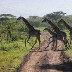 Safari on the Serengeti, Tanzania