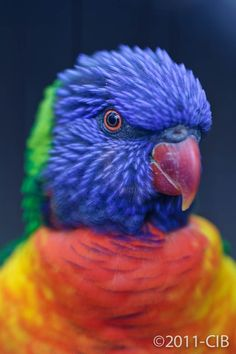 Tasmanian parrot by Carlos Ibanez, Rainbow lorikeet Birds In The Sky, All Birds, Love Birds, Pretty Birds, Beautiful Birds, Animals Beautiful, Toucan, Kinds Of Birds, Bird Toys