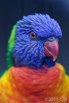 Tasmanian parrot by Carlos Ibanez,