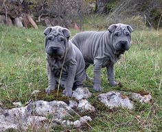 Do Chinese Shar-Pei Shed? Yes, the Chinese Shar-Pei shed. Scottish Terrier, Boston Terrier, Shar Pei Puppies, Dogs And Puppies, Doggies, Mastiff Puppies, Cachorros Shar Pei, I Love Dogs, Cute Dogs