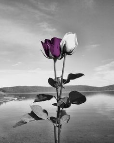 Black White Purple Wall Art Photography.Rose by LittlePiePhotoArt