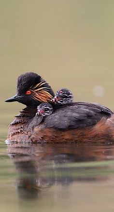 BLACK-NECKED GREBE - Podiceps nigricollis . . . Known as the Eared Grebe in North America . . lives on every continent except Australia and Antarctica.